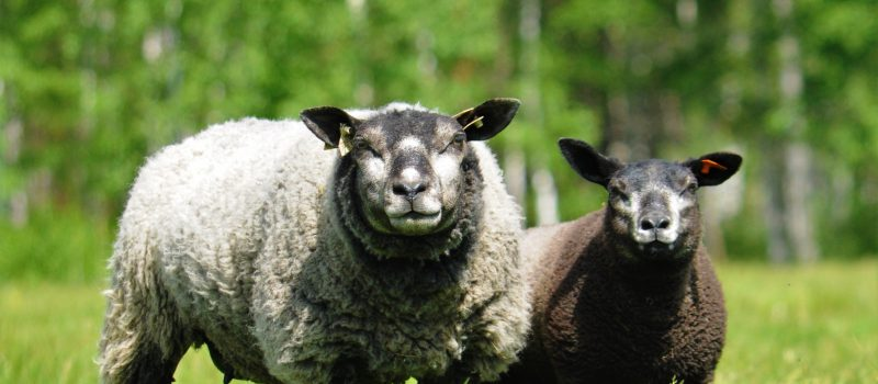 Syrjälän Lammastila